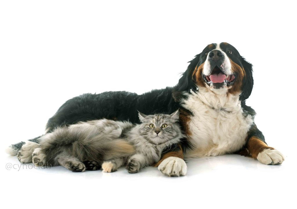 maine coon cat and bernese mountain dog in front of white background